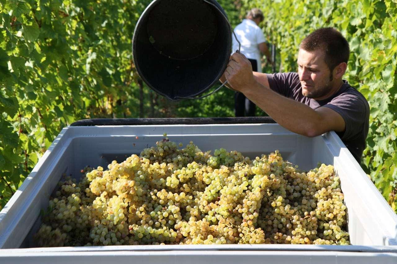 Traubenlese bei dem Weingut Horcher