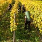 Weinlese beim Weingut Rheinold Haart