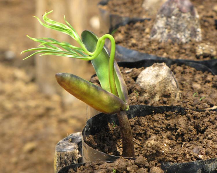 Die neuen Setzlinge schlagen im geschützten Wuchsfeld zunächst Wurzeln und werden dann in die neue Waldfläche umgepflanzt