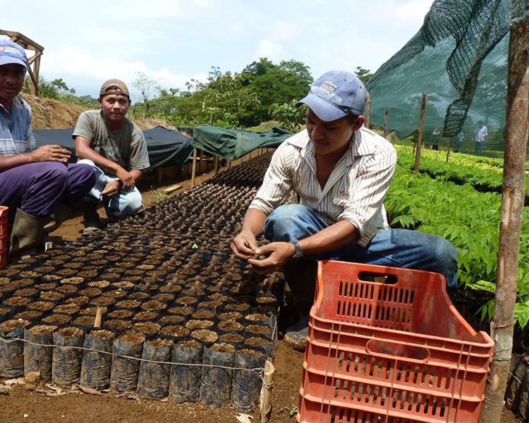 Die Baumsprößlinge werden zur Auspflanzung vorbereitet
